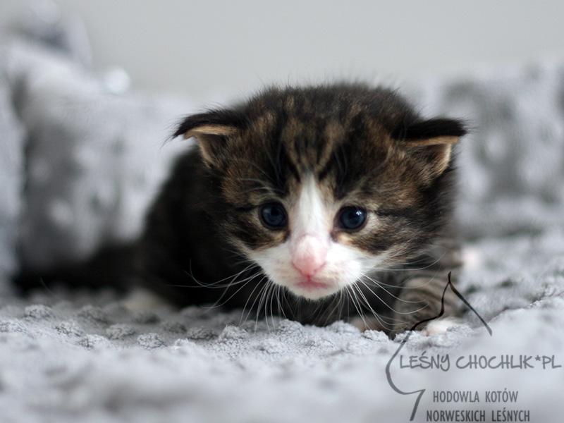 Kot norweski leśny Erebus Leśny Chochlik*PL - 3 tygodnie