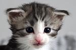 Kociak norweski leśny - kotka - Erta Ale Leśny Chochlik*PL