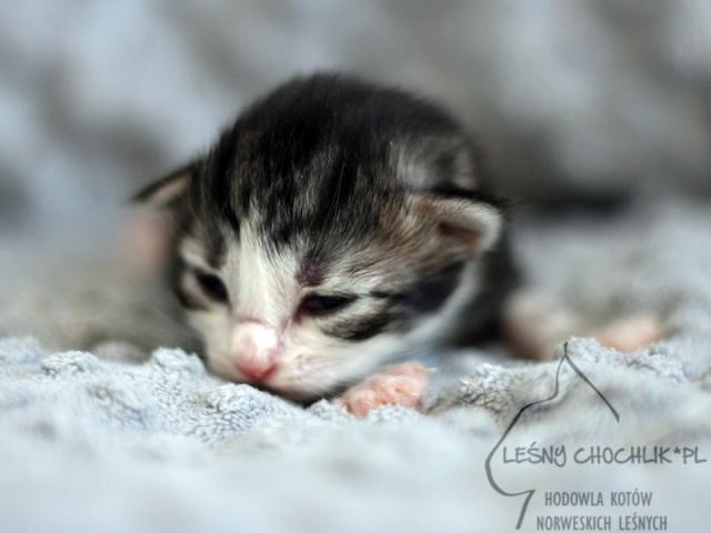 Kot norweski leśny Erta Ale Leśny Chochlik*PL - 1 tydzień
