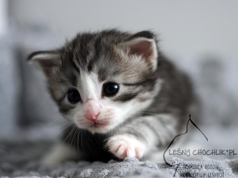 Kot norweski leśny Erta Ale Leśny Chochlik*PL - 3 tygodnie