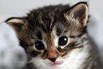 Kociak norweski leśny - kotka - Etna Leśny Chochlik*PL
