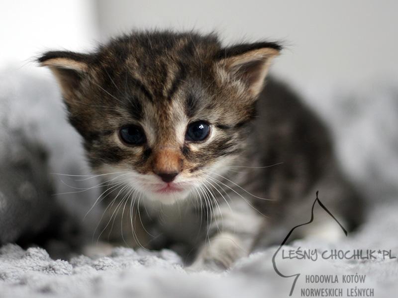 Kot norweski leśny Etna Leśny Chochlik*PL - 3 tygodnie